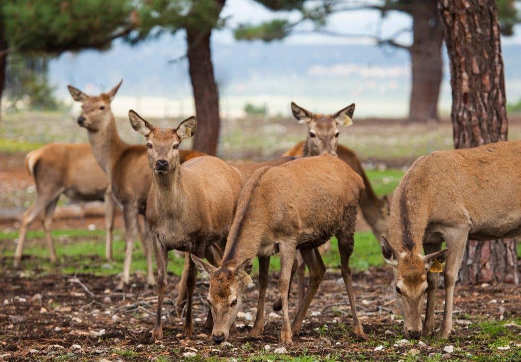 los-ciervos